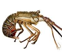rock-lobster-thumb