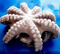 octopus-eviscerated-flowered-thumb