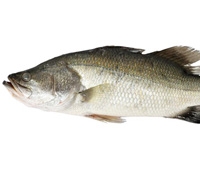 barramundi-thumb