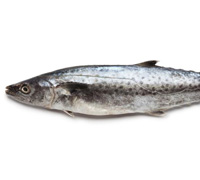 spanish-mackerel-thumb